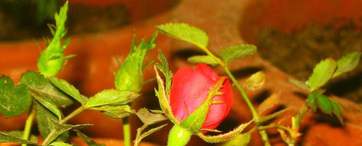 rose big E2